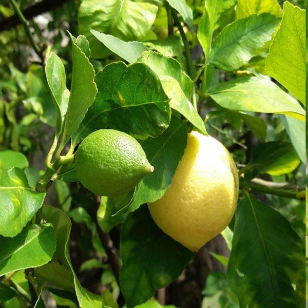 Limoni del Lago di Garda