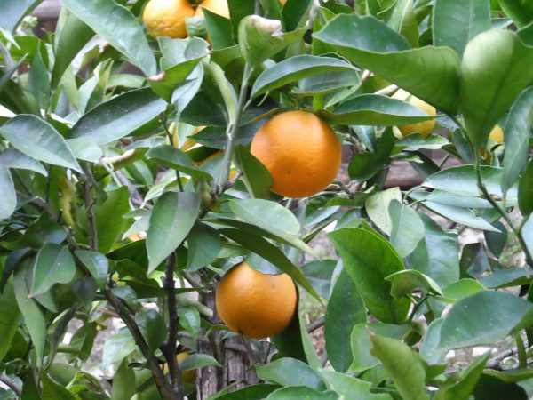 Pianta arance dolci